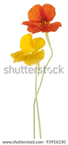 Studio Shot of Orange and Yellow Colored Nasturtium Flowers Isolated on White Background. Large Depth of Field (DOF). Macro. - stock photo