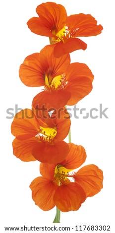 Studio Shot of Orange Colored Nasturtium Flowers Isolated on White Background. Large Depth of Field (DOF). Macro. Symbol of Patriotism and Conquest. - stock photo