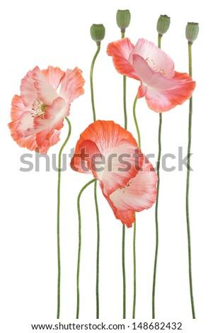 Studio Shot of Orange Colored Poppy Flowers Isolated on White Background. Large Depth of Field (DOF). Macro. Symbol of Sleep, Oblivion and Imagination. - stock photo