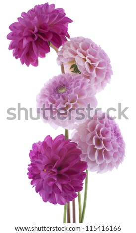 Studio Shot of Pink and Magenta Colored Dahlia Flowers Isolated on White Background. Large Depth of Field (DOF). Macro. Symbol of Elegance, Dignity and Good Taste.
