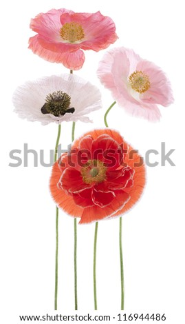 Studio Shot of Pink and Red Colored Poppy Flowers Isolated on White Background. Large Depth of Field (DOF). Macro. Symbol of Sleep, Oblivion and Imagination.