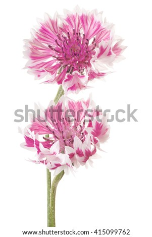 Studio Shot of Pink Colored Cornflowers Isolated on White Background. Large Depth of Field (DOF). Macro. - stock photo