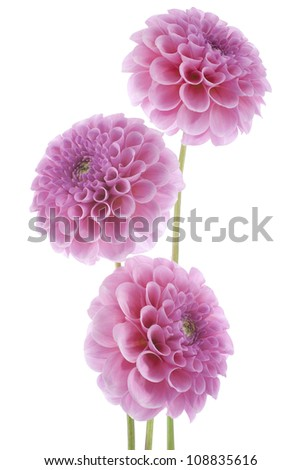 Studio Shot of Pink Colored Dahlia Flowers Isolated on White Background. Large Depth of Field (DOF). Macro. Symbol of Elegance, Dignity and Good Taste.