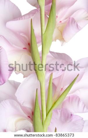 Studio Shot of Pink Colored Gladiolus Isolated on White Background - stock photo