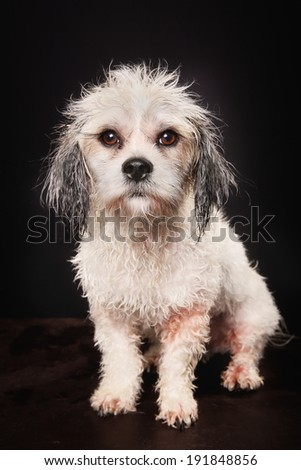 Studio shot of purebred Bichon Havanais dog during grooming session at dog salon.