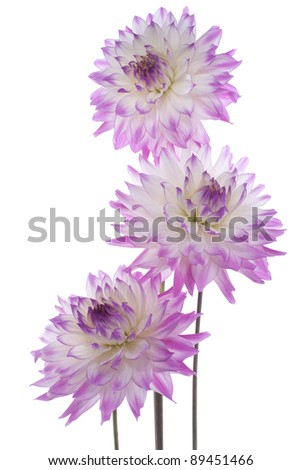 Studio Shot of  Purple and White Colored Dahlia Flowers Isolated on White Background. Large Depth of Field (DOF). Macro. Symbol of Elegance, Dignity and Good Taste. - stock photo