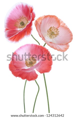 Studio Shot of Red and Orange Colored Poppy Flowers Isolated on White Background. Large Depth of Field (DOF). Macro. Symbol of Sleep, Oblivion and Imagination.