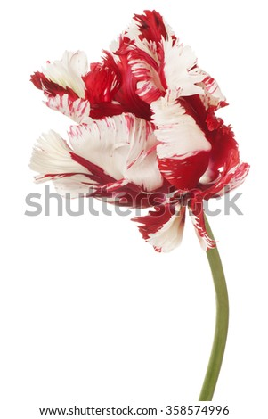 Studio Shot of Red and White Colored Tulip Flower Isolated on White Background. Large Depth of Field (DOF). Macro. - stock photo