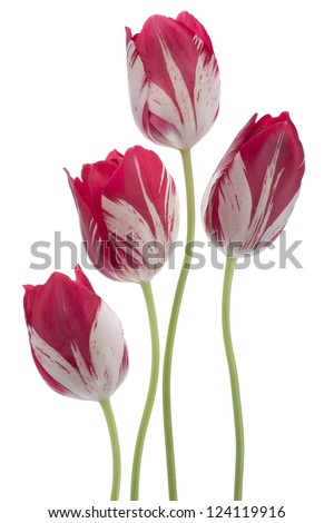 Studio Shot of Red and White Colored Tulip Flowers Isolated on White Background. Large Depth of Field (DOF). Macro. National Flower of The Netherlands, Turkey and Hungary. - stock photo