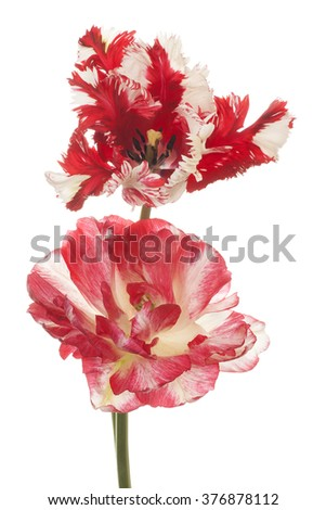 Studio Shot of Red and White Colored Tulip Flowers Isolated on White Background. Large Depth of Field (DOF). Macro. - stock photo