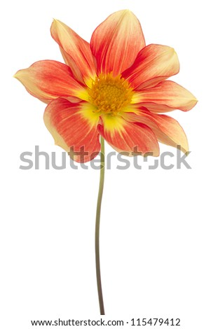 Studio Shot of Red and Yellow Colored Dahlia Flower Isolated on White Background. Large Depth of Field (DOF). Macro. Symbol of Elegance, Dignity and Good Taste. - stock photo