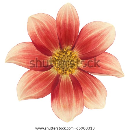 Studio Shot of Red and Yellow Colored Dahlia Isolated on White Background. Large Depth of Field (DOF). Macro. Symbol of Elegance, Dignity and Good Taste. - stock photo