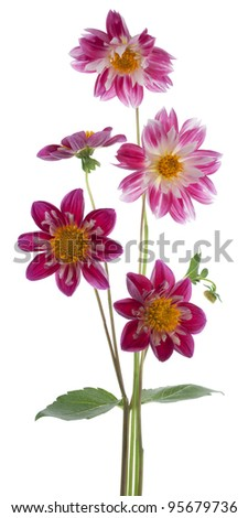 Studio Shot of Red Colored Dahlia Flowers Isolated on White Background. Large Depth of Field (DOF). Macro. Symbol of Elegance, Dignity and Good Taste.