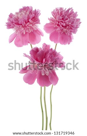 Studio Shot of Red Colored Peony Flowers Isolated on White Background. Large Depth of Field (DOF). Macro. - stock photo
