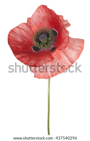 Studio Shot of Red Colored Poppy Flower Isolated on White Background. Large Depth of Field (DOF). Macro. - stock photo