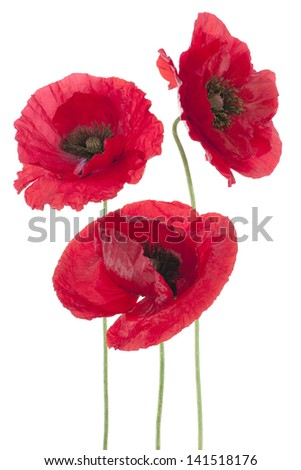 Studio Shot of Red Colored Poppy Flowers Isolated on White Background. Large Depth of Field (DOF). Macro. National Flower of Beldium and Poland.