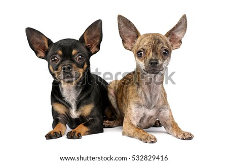 Short Haired Chihuahua Stock Images, Royalty-Free Images & Vectors ...