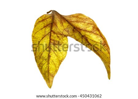 Studio shot of two conjoined twin autumn colored leaves patterns and textures isolated on white