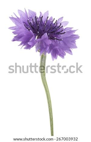 Studio Shot of Violet Colored Cornflower Isolated on White Background. Large Depth of Field (DOF). Macro. - stock photo