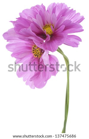 Studio Shot of Violet Colored Cosmos Flowers Isolated on White Background. Large Depth of Field (DOF). Macro. - stock photo