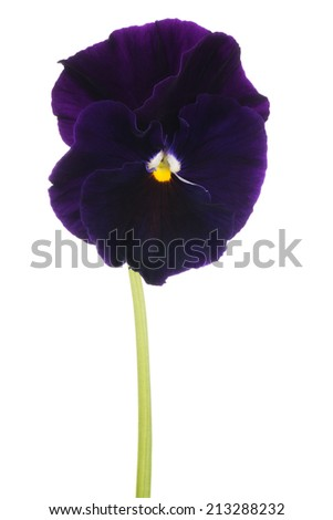 Studio Shot of Violet Colored Pansy Flower Isolated on White Background. Large Depth of Field (DOF). Macro. Symbol of Fun and Reminiscence. - stock photo