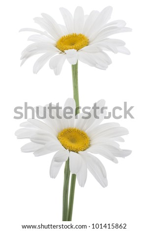 Studio Shot of White Colored Daisy Flowers Isolated on White Background. Large Depth of Field (DOF). Macro. National Flower of Latvia. - stock photo