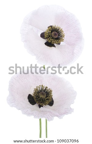 Studio Shot of White Colored Poppy Flowers Isolated on White Background. Large Depth of Field (DOF). Macro. Symbol of Sleep, Oblivion and Imagination. - stock photo