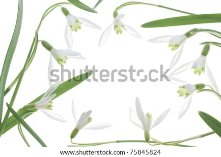 Studio Shot of White Colored Showdrop Isolated on White Background. Large Depth of Field (DOF). Macro.