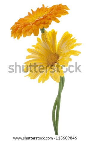 Studio Shot of Yellow and Orange Colored Calendula Flowers Isolated on White Background. Large Depth of Field (DOF). Macro. Sacred Flower of Ancient India. - stock photo