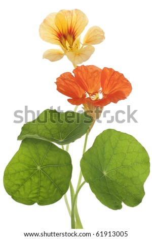 Studio Shot of Yellow and Orange Colored Nasturtiums Isolated on White Background. Large Depth of Field (DOF). Macro. Symbol of Patriotism and Conquest. - stock photo