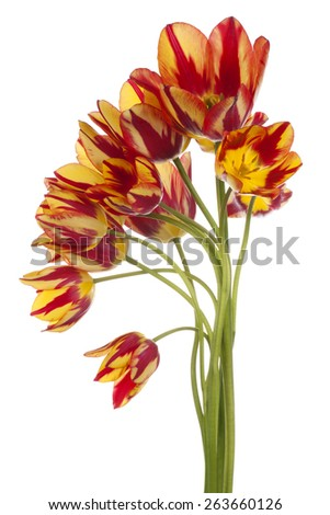 Studio Shot of Yellow and Red Colored Tulip Flowers Isolated on White Background. Large Depth of Field (DOF). Macro. National Flower of The Netherlands, Turkey and Hungary. - stock photo