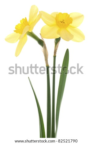 Studio Shot of  Yellow Colored Daffodils  Isolated on White Background. Large Depth of Field (DOF). Macro. National Symbol of Wales. Symbol of Self-love and Respect. - stock photo