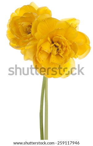 Studio Shot of Yellow Colored Tulip Flowers Isolated on White Background. Large Depth of Field (DOF). Macro. National Flower of The Netherlands, Turkey and Hungary. - stock photo
