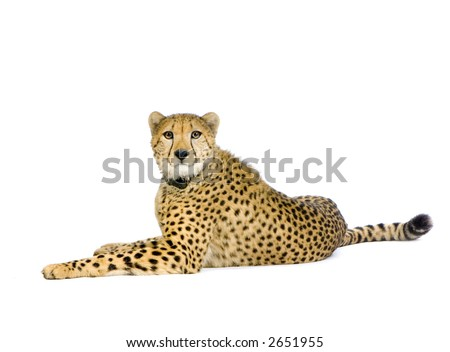 studio Shots of Cheetah  lying down in front on a white background. All my pictures are taken in a photo studio