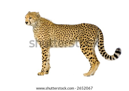 studio Shots of Cheetah standing up in front on a white background. All my pictures are taken in a photo studio - stock photo