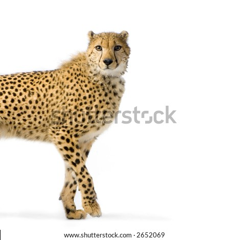 studio Shots of Cheetah Walking in front on a white background. All my pictures are taken in a photo studio - stock photo