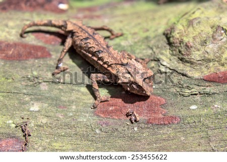 Stump-tailed or Leaf Chameleon (Brookesia brygooi) in Madagascar - stock photo