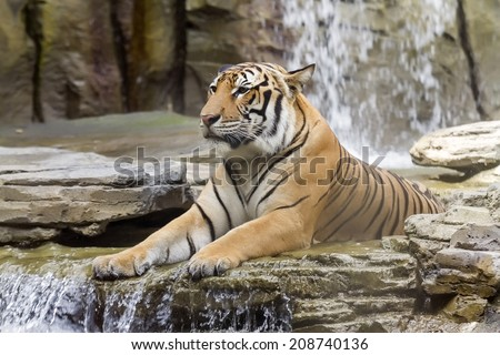 Stunning Bengal tiger of India, standing on a natural area with waterfall background - stock photo
