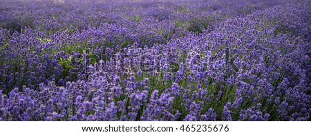 Stunning landscape of lavender field with shallow depth of field for emphasis