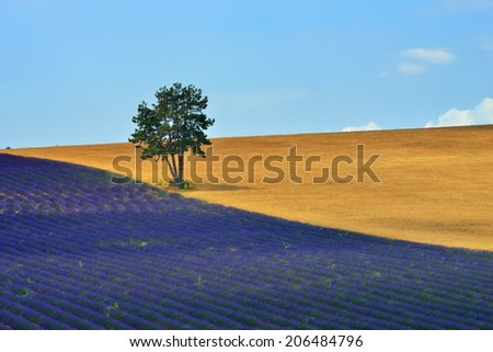 Stunning landscape with lavender field  and big pine tree at morning.  Provence, France - stock photo
