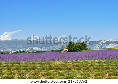 Stunning landscape with lavender field and farmhouse on background. Plateau of Valensole, Provence, France. - stock photo