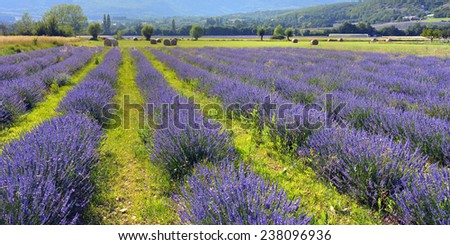 Stunning landscape with lavender field at sunset. Plateau of Sault, Provence, France