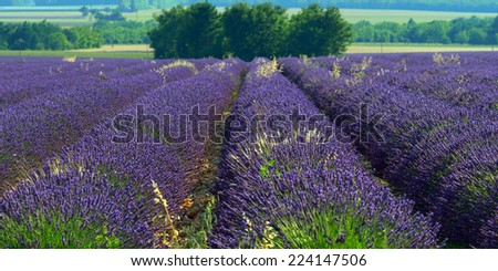 Stunning landscape with lavender field.  Provence, France
