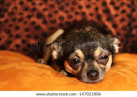 Stunning Portrait of a Chihuahua Laying Down - stock photo
