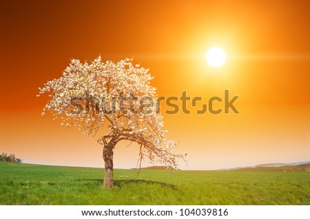 Stunning vivid sunset over the blooming apple orchard in the spring - stock photo