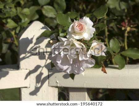 Stunningly  magnificent romantic beautiful heritage pale pink  roses blooming in late autumn after a shower of rain  add fragrant charm to the garden scape after the long hot summer. - stock photo