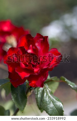 Stunningly  magnificent romantic beautiful red toned floribunda    roses blooming in late spring adds color and  a rich fragrance to the garden land scape and are a delight to behold. - stock photo