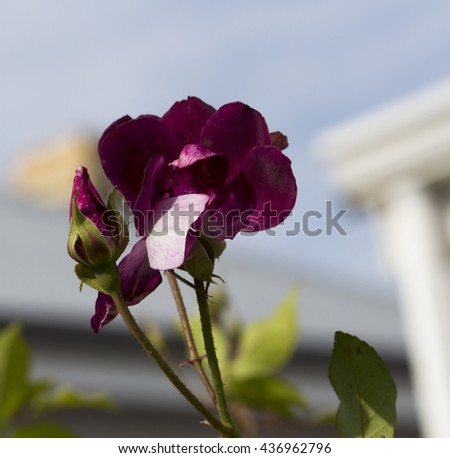 Stunningly  magnificent romantic beautiful sport of Brilliant Pink Iceberg rose Burgundy Iceberg roses blooming in winter  add fragrant charm to the garden  with  a florabunda clustering habit .  - stock photo