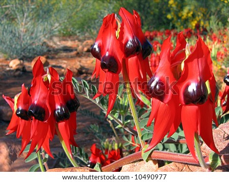 Sturt's Desert Pea - stock photo