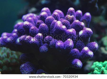 Stylophora Milka coral sps - stock photo